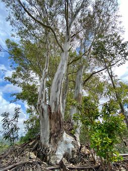 Eucalyptus tree.jpeg