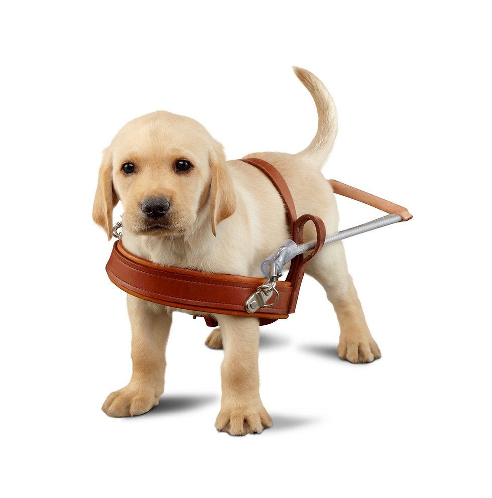 puppy guide dog