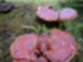 Buy Reishi Mushrooms