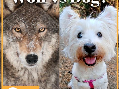 你不用當老大,因為狗根本不是狼!