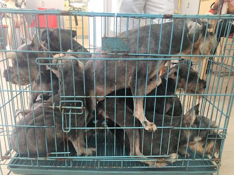 了解動物售賣新例  打擊犬隻繁殖