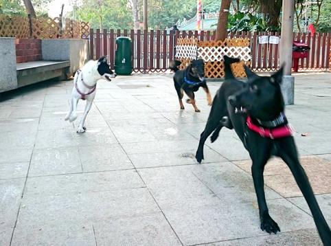 狗狗間的嬉戲玩耍