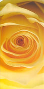 PMC-yellow-rose_edited.jpg