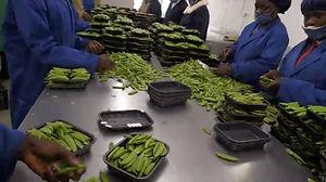 PMC-mangetout-peas-process.jpeg
