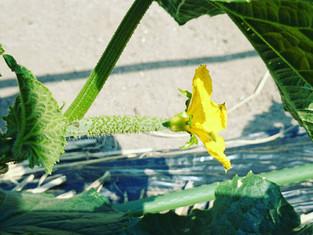 人生初の栽培!まずはキュウリを収穫したよ!トゲ痛いから気を付けよう!