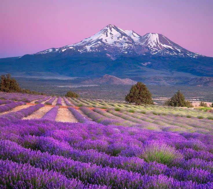lavendar farm.jpg