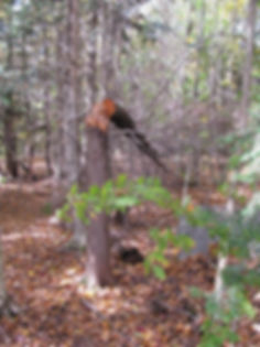 broken hemlock tree