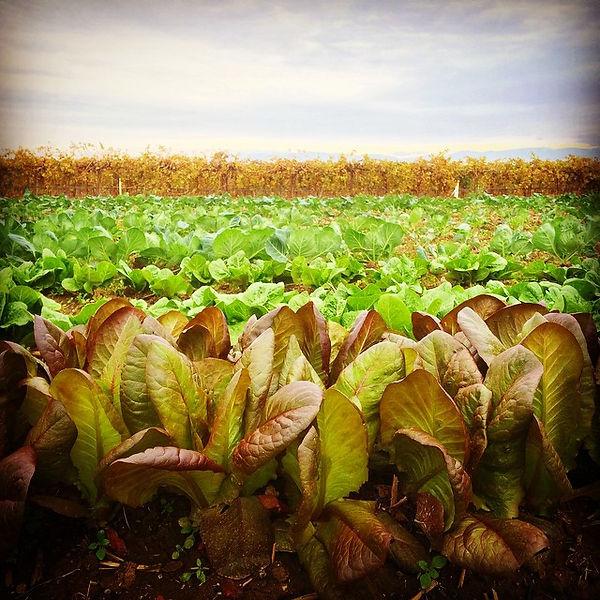 #farmdays #cimarronlettuce #greenromaine