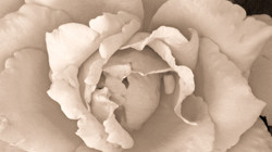 Tint colored rose