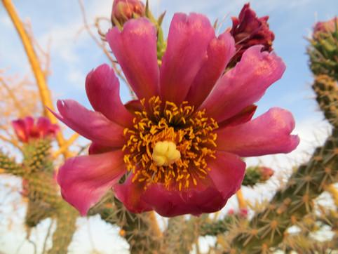 Mauve Pink Prickly Pear Bloom