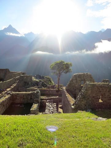 Tree at Machu Picchu