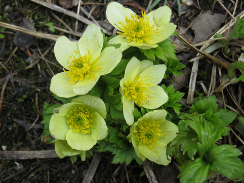 yellow alpine flower