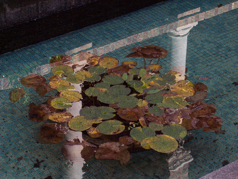 Pool of lilly pads