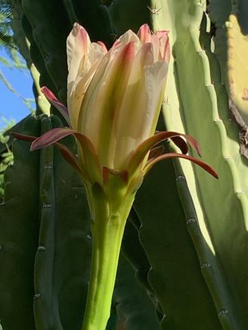 peruvian apple flower
