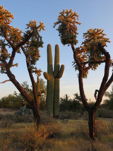 Saguaro twins