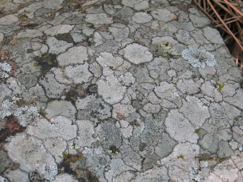 Rock Lichen and moss