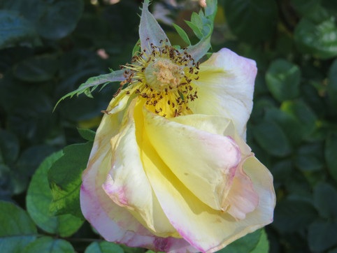 Swirled petals