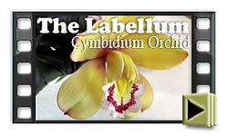 Sugar Orchid the Labellum