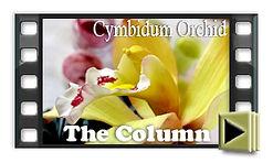 Cymbidium Orchid Column tutorial