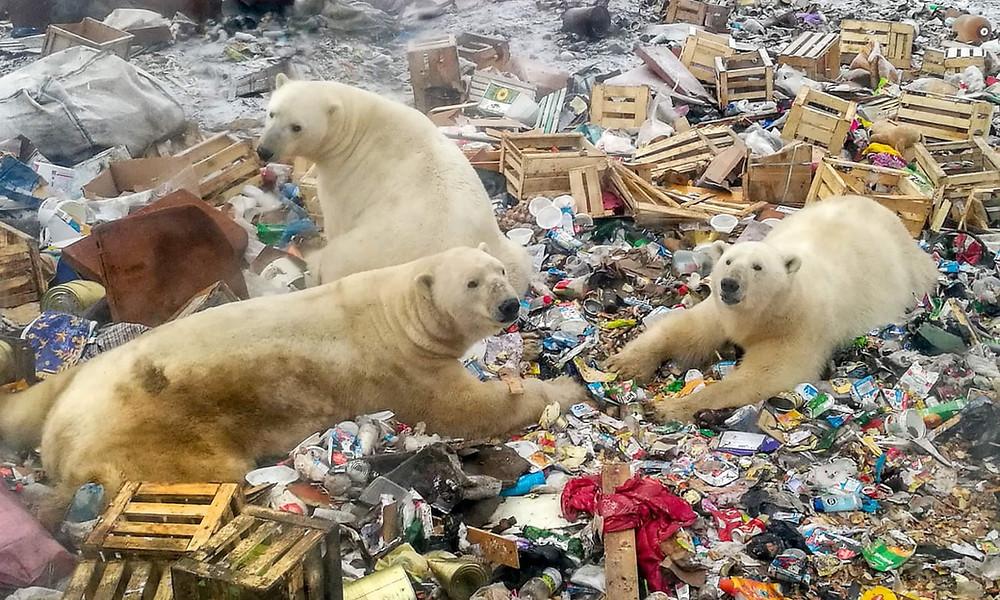 Los osos polares se alimentan en un vertedero de basura cerca de la aldea de Belushya Guba, Novaya Zemlya. El hielo derretido está forzando a los osos a desplazarse más tierra adentro y a entrar en contacto con los humanos en su búsqueda de alimento. Fotografía: Alexander Grir/AFP/Getty Images