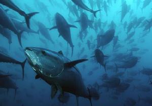 Todos los peces necesitan oxígeno disuelto, pero los peces más grandes como el atún son particularmente vulnerables porque necesitan mucho más para sobrevivir.