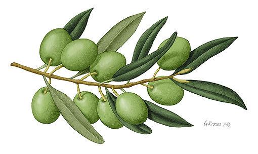 olive LR.jpg