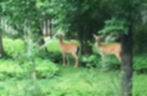 White-tailed deer, Verona Park, NJ