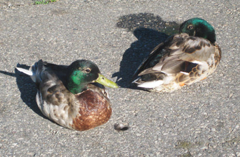 Mallard Ducks, Verona Park, NJ