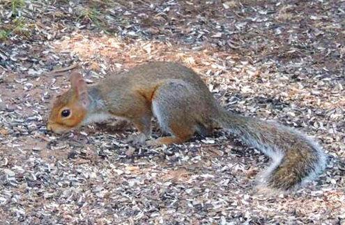 Eastern Gray Squirrel, Verona Park, NJ