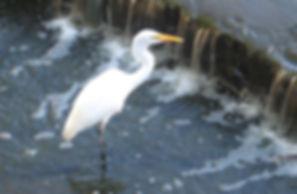 Egret, Verona Park, NJ