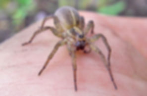Wolf Spider, Verona Park, NJ