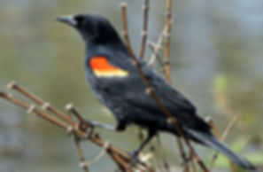 Red-Winged Blackbird, Verona Park, NJ