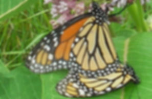 Monarch Butterfly, Verona Park, NJ