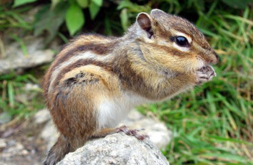 Eastern Chipmunk, Verona Park, NJ