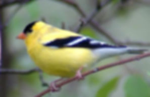 American Goldfinch, Verona Park, NJ