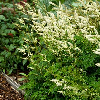 Indian Grass (Sorghastrum nutans).jpg