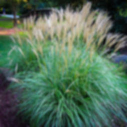 Indian Grass (Sorghastrum nutans).jpg