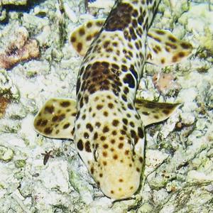 Walking shark. Hemyscillium halmahera. I