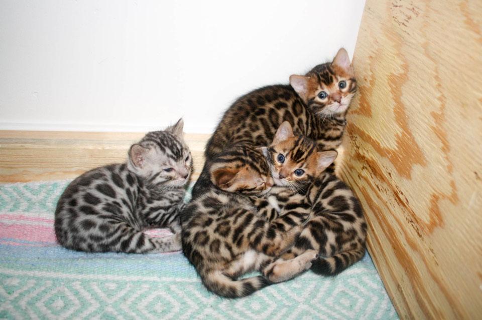 Arizona Bengal kittens.jpg
