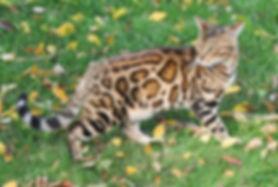 Colorado Bengal Kitten