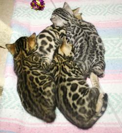 Thundercat Bengal kittens Arizona