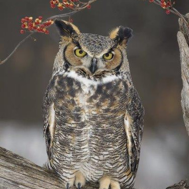 55 Great Horned Owl and Bittersweet.jpg
