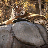 49 Autumn Tiger.jpg