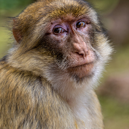 43 Thoughtful Macaque.jpg