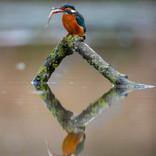 47 Kingfisher @ Nick Carter.jpg