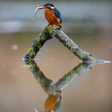 47 Kingfisher @ Nick Carter.jpg