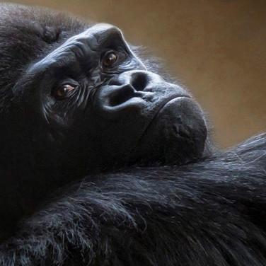 54 Gorilla Gaze.jpg