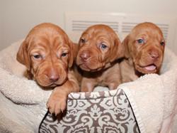 Three Dallas Vizsla puppies in tub