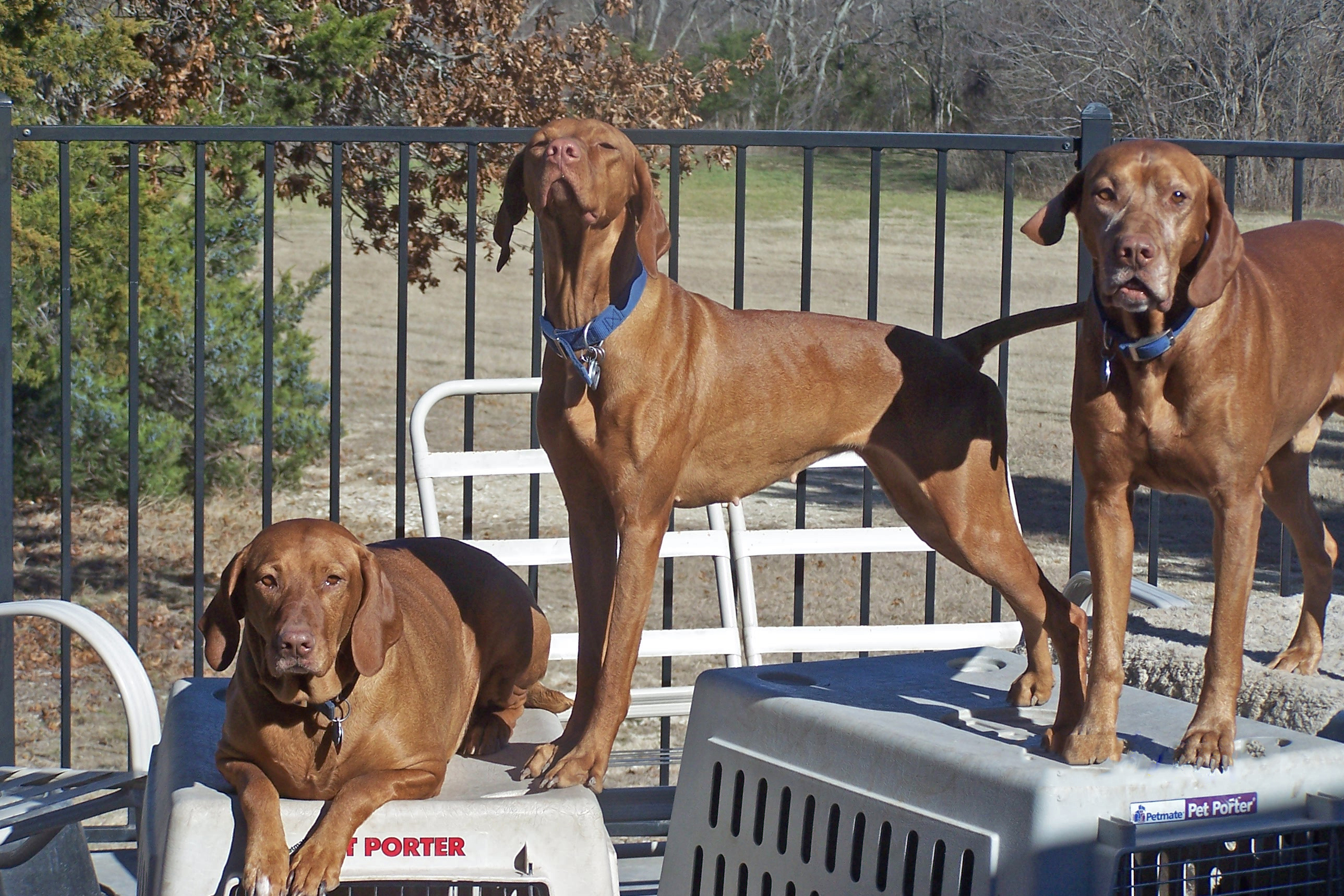 Dallas Vizslas: Pups, Studs, Rescue
