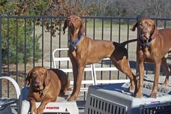 Dallas Vizslas: Pups, Studs, Rescue